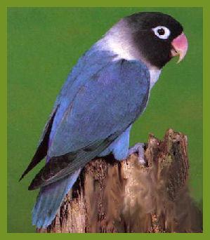 Lovebird biru - photo#2