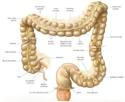 sanuscomplexus: Colon, descripción anatómica
