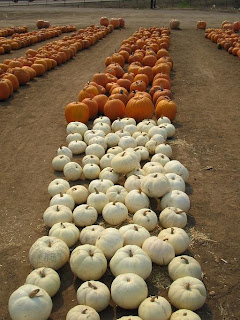 orange and white pumpkins arranged in rows