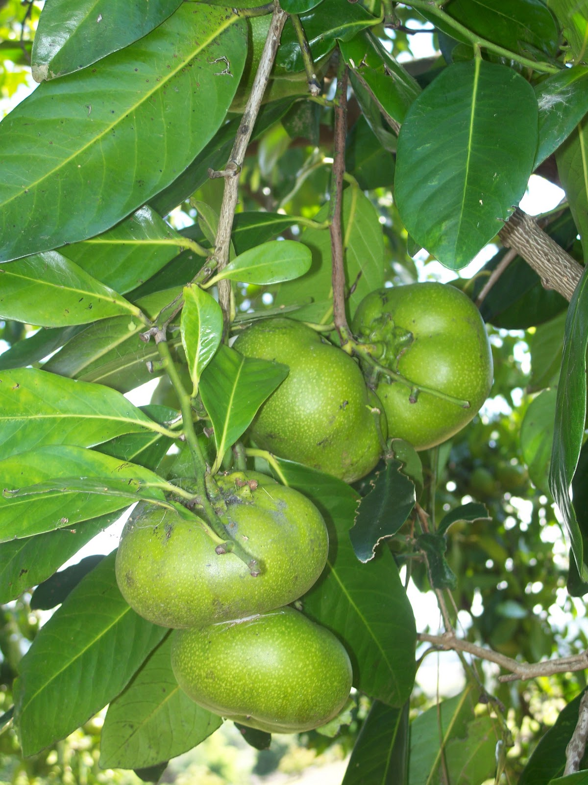 Black sapote or chocolate pudding fruit tree what a for Fruit trees