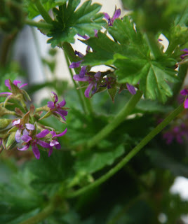 Scented Pelargonium / Geranium Coconut flower