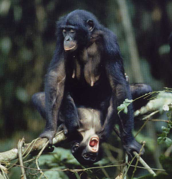 ape mating