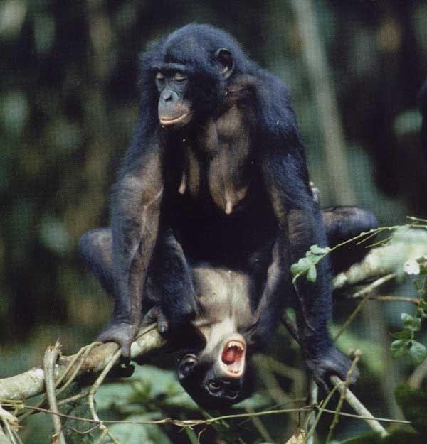 Chimpanzee Information: Sex Differences between Bonobo