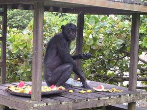 Male chimpanzees in Mahale Yerkes Humanzee