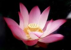 Lotus Flower 莲花