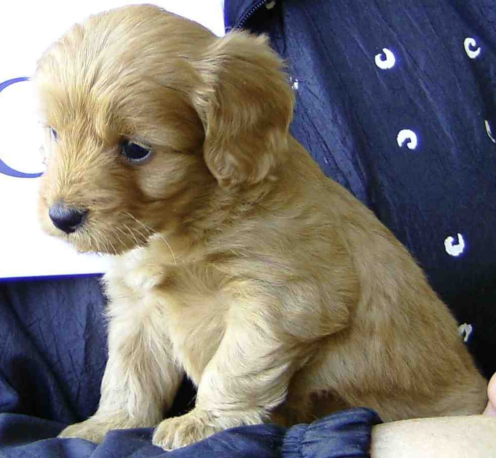 Cavoodle Puppy Pictures