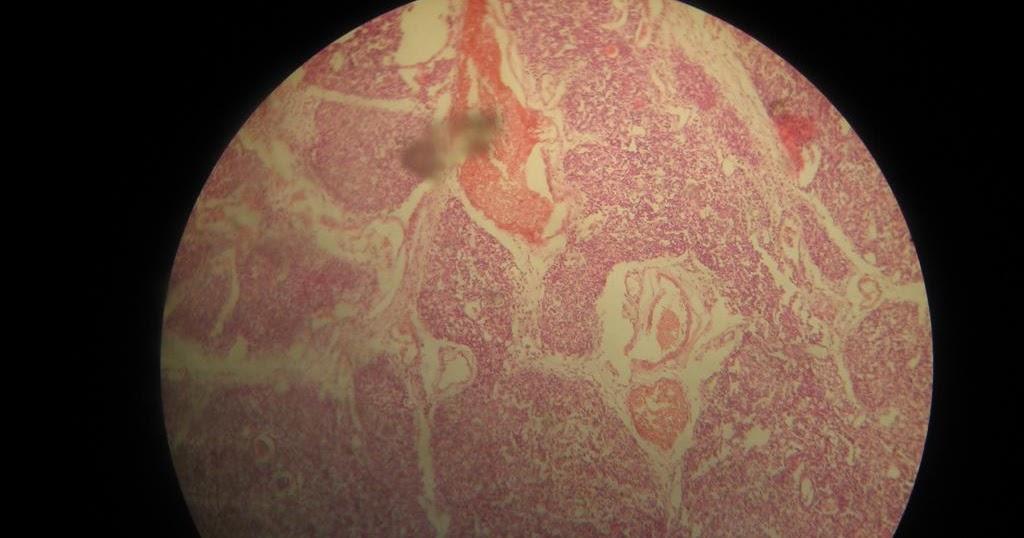 Histology Slides Database Thymus Histology Slide