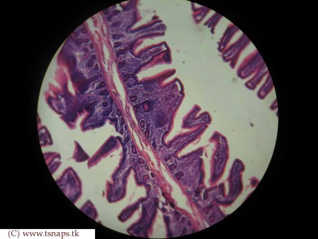 Histology Slides Database: human jejunum histology slides