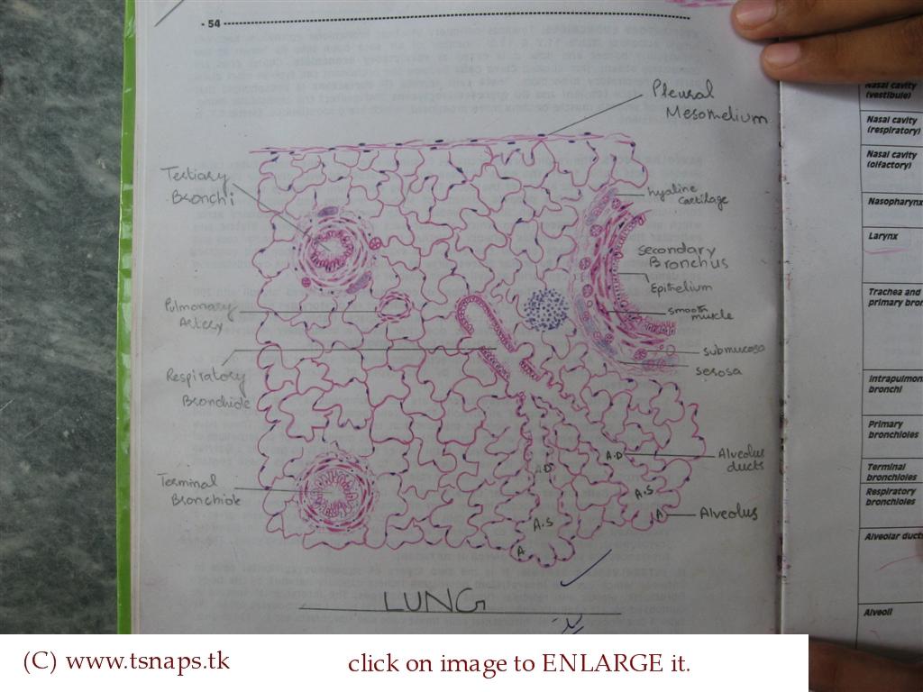 Histology slides database histological diagram of lung histological diagram of lung ccuart Choice Image