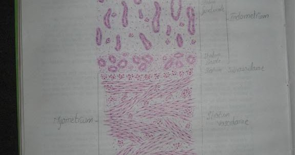Histology Slides Database  Histological Diagram Of Uterus