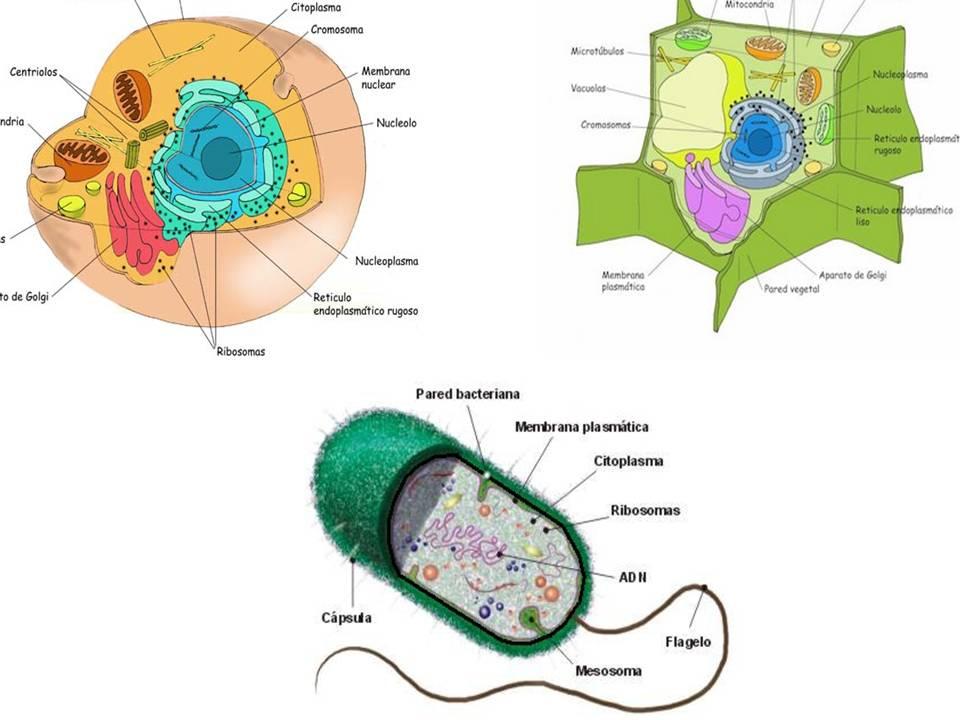 celula vegetal e animal. hair celula vegetal e animal