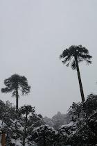 Araucarias de Tolhuaca