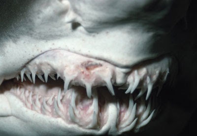 Enjoy these chilling close up pictures of shark teeth  Pictures Of Sharks Teeth