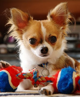 Chihuahua Toy Dog Breed Cute Pictures Animal Photos