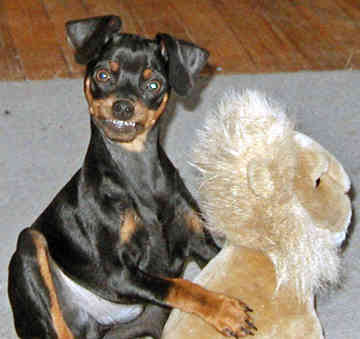 Miniature Pinscher Dog Breed  Cute Pictures  Animal Photos