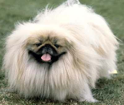 Image of Sleeve Pekingese