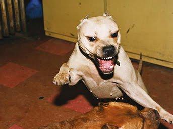 фото собаки порода питбуль