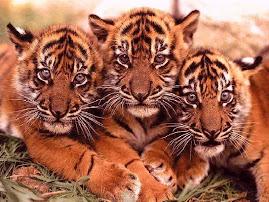Três irrequietos tigres rsrsrr...