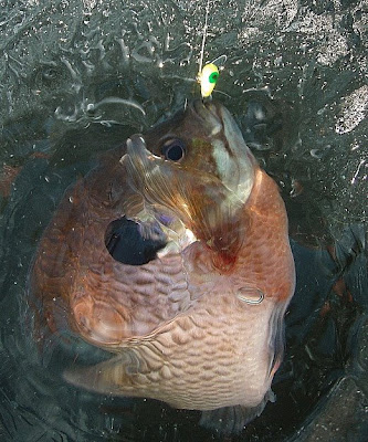 bluegill+in+hole.jpg