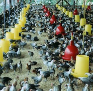 ternak ayam rumahan