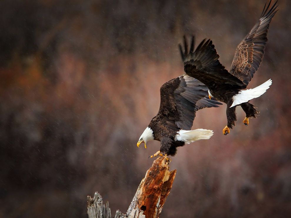 Eagles in Flight by Glen Hush