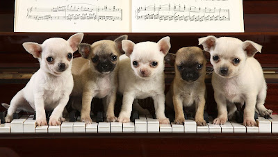 funny dogs: funny dogs wallpapers in piano