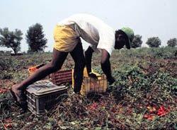 lavoro, nero, immigrazione, agricoltura,