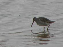 Long-billed Dowticher, Port Carlisle, December 2009