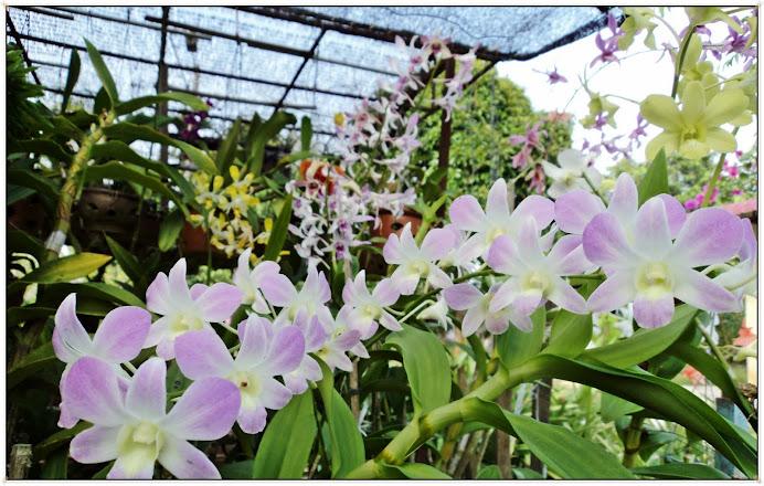 Rumah Orkid aku dah macam musim bunga