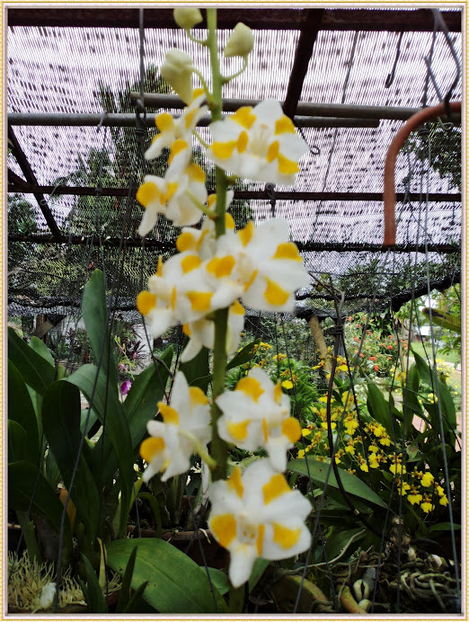 oncidium white yellow