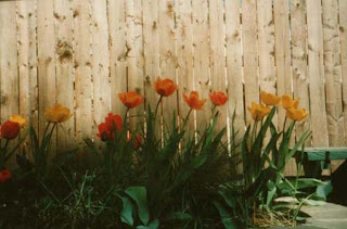 tulips by fence
