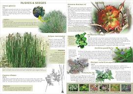 Wetland flora - II