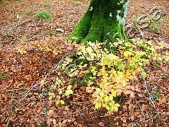Hayedo con las hojas de diferentes coloridos, Reserva Natural del Río Urederra, Ruta de las Cascadas de  Baquedano