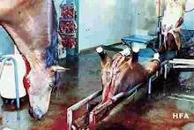 Horses: Mad-Cows Sacrificial Lambs
