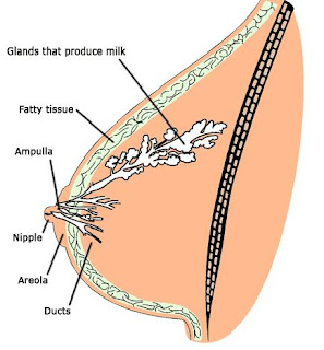 гинекомастия, ареола, зърно, млечна жлеза