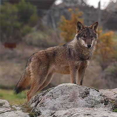 Mais um lobo-ibérico abatido a tiro Lobo%252Biberico