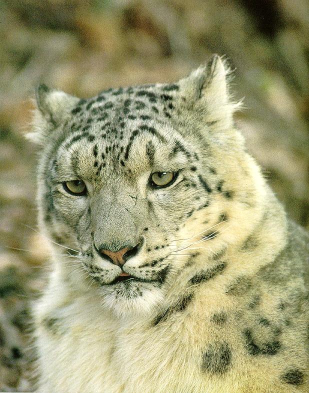 Snow Leopard House Cat For Sale