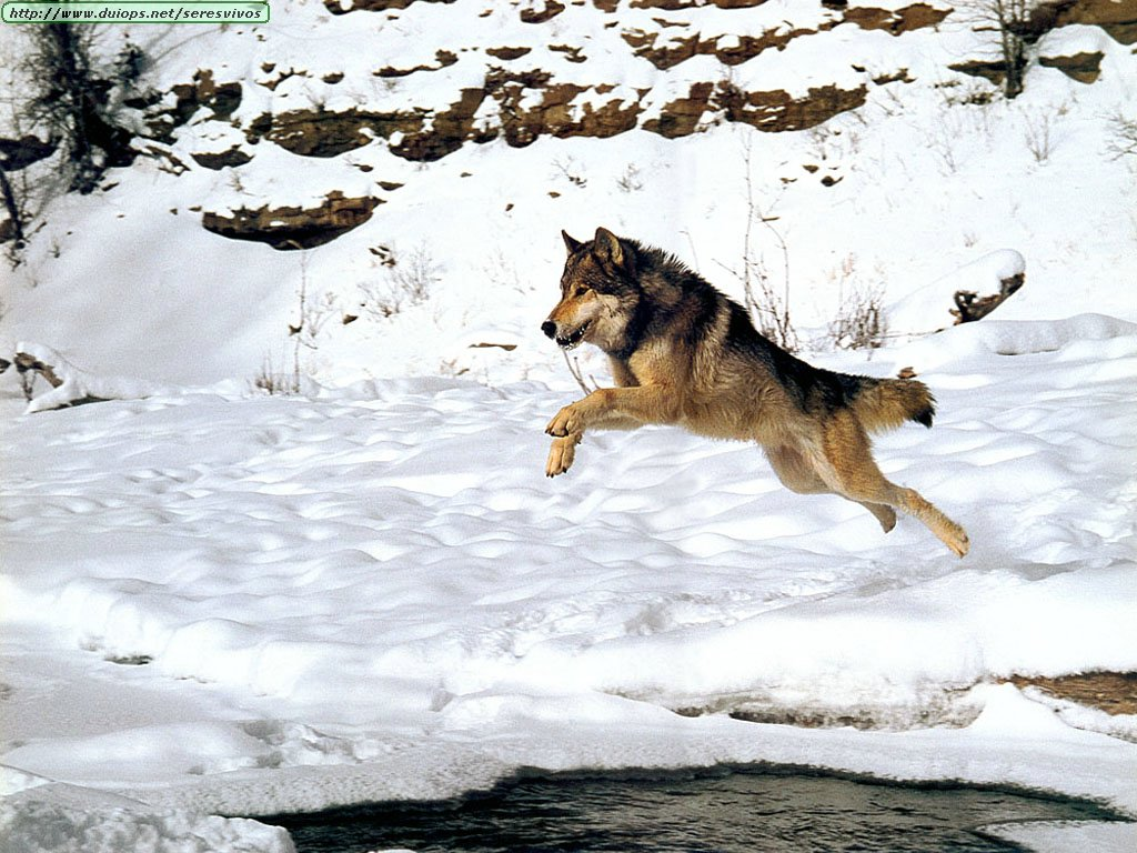 Manada: Guardianes del bosque - Página 38 Lobo14