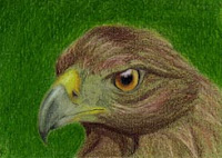 coloured pencil ACEO of an eagle Copyright Jennifer Rose Phillip