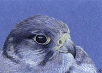 Peregrine Falcon Copyright Jennifer Rose Phillip