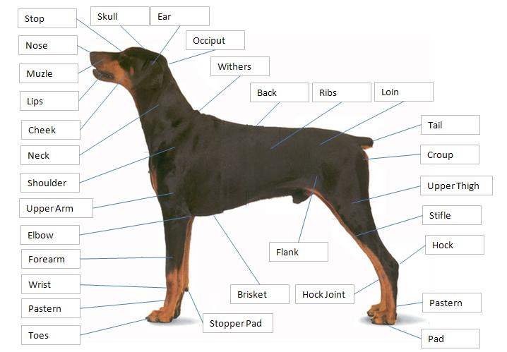 Dog Story Dog Anatomy