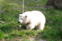 Polar bear at the Nuremberg zoo
