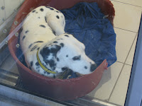 Dalmatian at Dogs Trust London