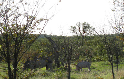 White rhinos grazing in a private reserve near Etosha National Park in Namibia