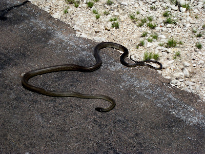 Black Mamba Snake in Etosha National Park in Namibia