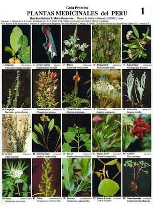 Caoba c plantas alimenticias y medicinales en lambayeque for Plantas ornamentales del peru