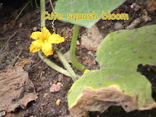 Pretty Yellow Squash Bloom