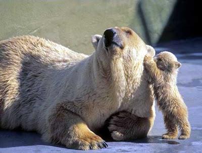funny bear, ketawa