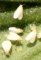 Mosca blanca, Aleurodes, Trialeurodes vaporariorum