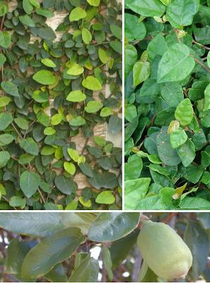 Ficus rastrero, Ficus pumila, Ficus trepador, Ficus enano, Ficus de China